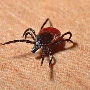 Week van de teek - ziekte van Lyme